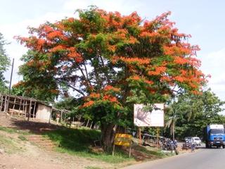 flame-tree-in-togo-2.jpg